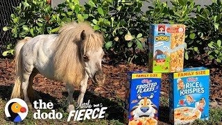 These Guys Have Saved Hundreds of Dwarf Horses | The Dodo Little But Fierce
