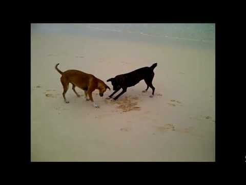 Epic Crab Escapes Playful Dog