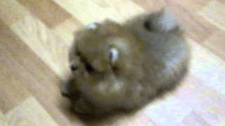 Шпиц (миниатюрный), щенок 2 месяца