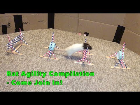 Rat Agility Compilation - Please Join In With Your Own Rats!