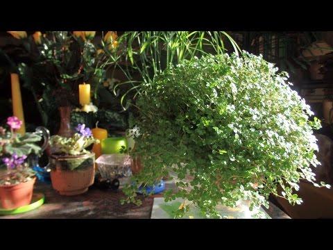 комнатные растения - солейролия