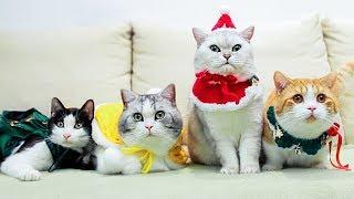 圣诞节到了,公猫们又被迫穿起了女装,太可爱太秀了!