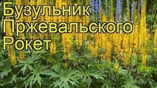 видео Бузульник Пржевальского