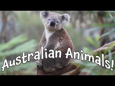 australian-animals!-our-biggest-video-of-animals-in-australia-for-kids