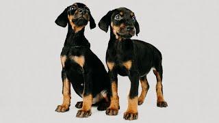 Продаются щенки добермана 2 месяца. Одесса