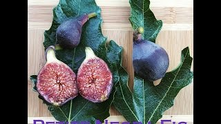 Petite negra fig tree