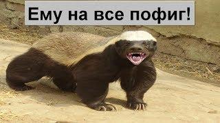 ВЕРСУС!  МЕДОЕД - самое агрессивное и бесстрашное животное в мире!