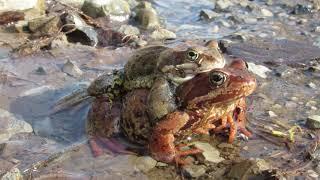 Природа просыпается и оживает!  Спаривание жабы.