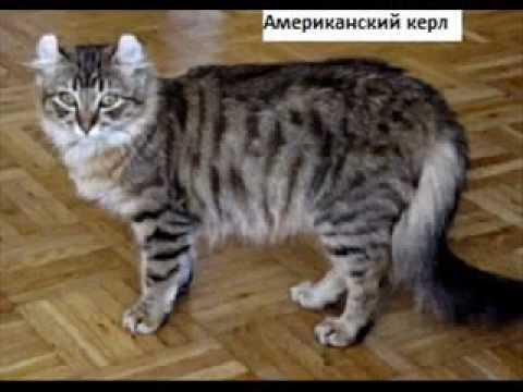 ТАЙСКИЕ КОШКИ И КОТЯТА Клуб Тайских Кошек