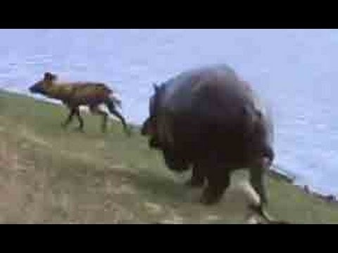 Wild Dogs Vs Hippos Vs Impala - Latest Sightings