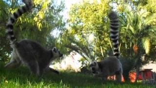 Лемуры из Мадагаскара гуляют как у себя дома - Биопарк Валенсии