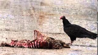 Gambar cover vulture bird sound effects - efek suara burung bangkai