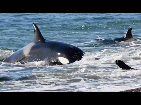Killer whales gather to kill sea lions off the coast of Argentina
