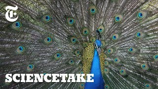 Watch: Peacocks Shake and Rattle to Attract Females | ScienceTake