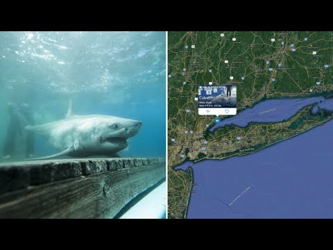 Wendy - A Great White Shark Is Being Tracked In Long Island Sound