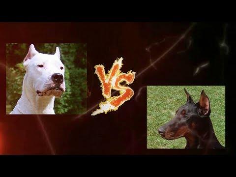 Torneo Perruno 5-16. Dogo Argentino vs Dóberman