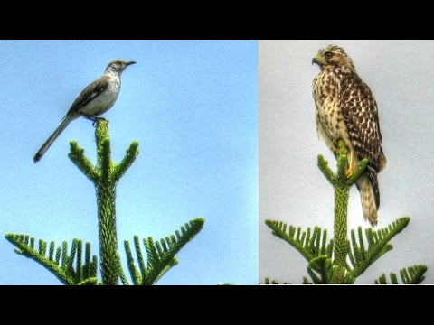 cook-pine-trees-make-great-bird-perches