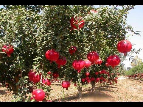 Кипр  декабрь 18..Мандарины.....гранаты лимоны.. растут   на улице