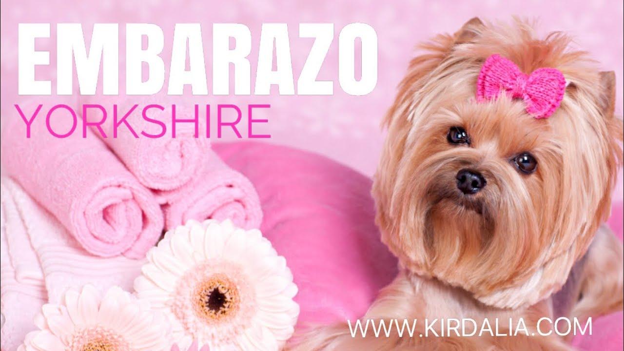 889cfec21 puppy | Criadores Yorkshire Madrid