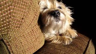 The Cairn Terrier Chronicles - Pavlov Being Pavlov. There Aren't Many Dogs Like Him.