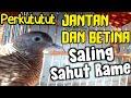 Suara Perkutut Jantan Dan Betina Saling Sahut Rame  Mp3 - Mp4 Download