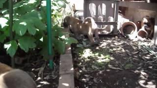 4匹で仲良く裏庭で遊んでいます。子犬も泥だらけ、飛びつかれた私も泥だ...