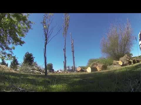 Poplar Tree removal in Christchurch - How to remove a Tree Safely