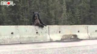 Cub rescued by his mother on the highway Thumbnail