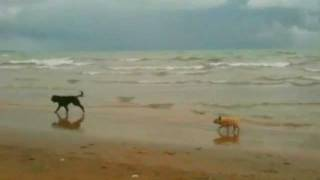 Cairn Terrier Ellie Chases Portuguese Waterdog On Lake Michigan