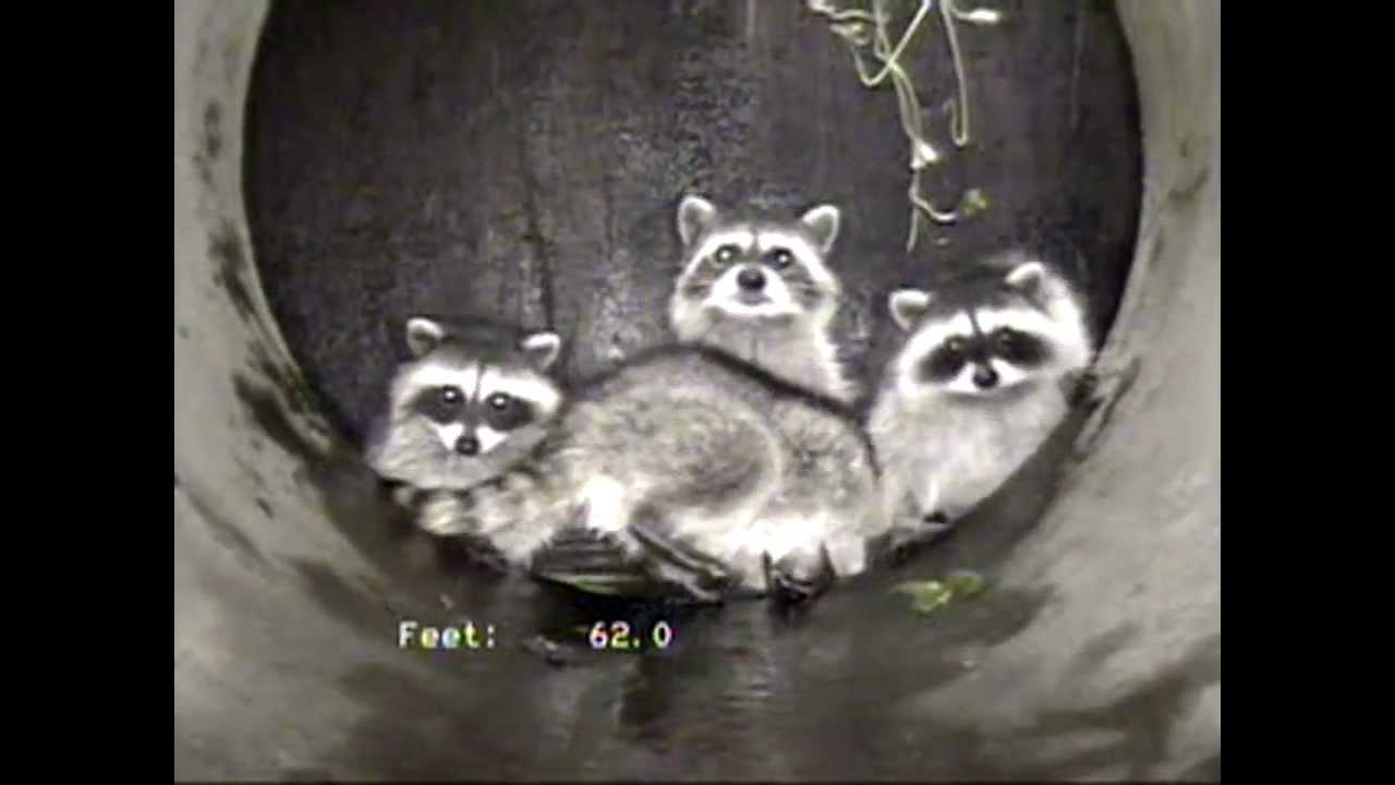 Playful Raccoons In Storm Drain Youtube