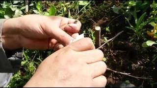 كيفية تلقيم أو تطعيم شجرة الكرز ( حب الملوك ) بالاقلام
