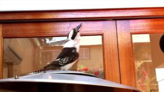 Impressive Kookaburra bird call