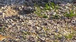 spurv i april - sparrow in april