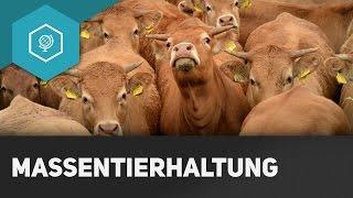 Massentierhaltung: Vorteile, Nachteile und Folgen - Moderne Landwirtschaft in der Viehzucht