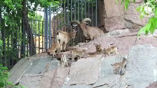 ВЕСЕННИЙ ОКОТ: первые козлята родились в Московском зоопарке