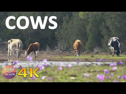 Cows mooing and spring birds singing # Relaxing nature sounds # Strofilia, Greece # 4K video