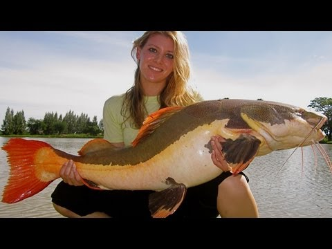 Red tail catfish eating cod from YouTube · High Definition · Duration:  1 minutes 3 seconds  · 1,000+ views · uploaded on 6/10/2014 · uploaded by Anders Cornelius Olesen