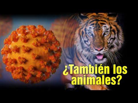 Un Tigre Infectado: ¿Qué Pasa Con Los Animales Y El Coronavirus?