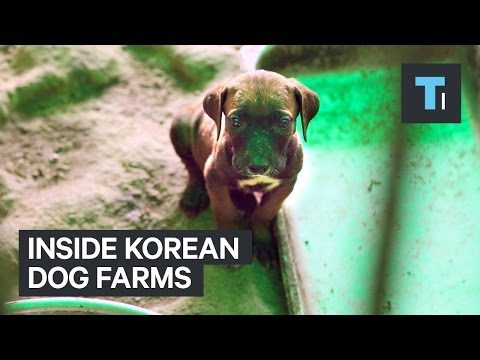 Inside Korean Dog Farms