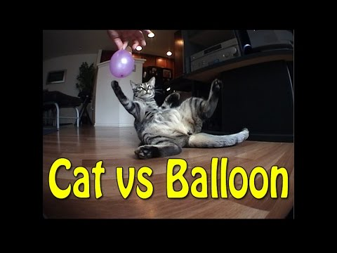 Bengal Cat vs Balloon Funny Video