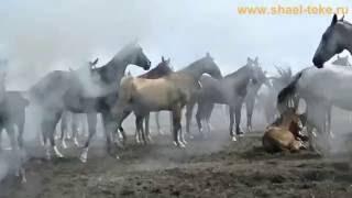 Shael smoke. Akhalteke horses. Ахалтекинские лошади