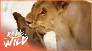 Lioness On The Hunt | Real Wild