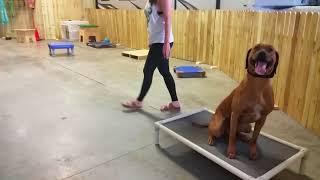Grover - 1yr old Rhodesion Ridgeback - Dog Training Omaha, Nebraska - Off Leash Training
