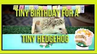 Repeat youtube video Tiny Birthday For A Tiny Hedgehog (Ep. 2)