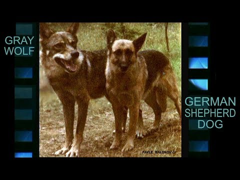 German Shepherd vs Gray Wolf (response to a command)