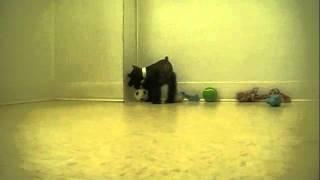 Mini Schnauzer Puppy Black Playing