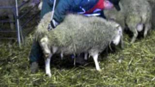 moutons manipulation
