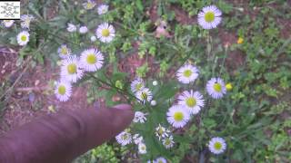 Video Daisy Fleabane - Erigeron annuus download MP3, 3GP, MP4, WEBM, AVI, FLV Agustus 2018
