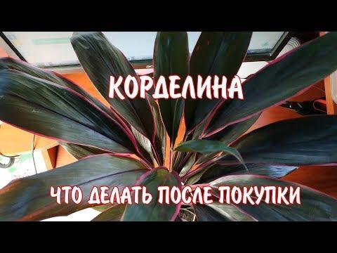 КОРДЕЛИНА / Пересадка после покупки / Домашние комнатные растения