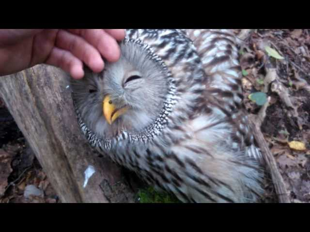 Sweet wild Owl….You must see this